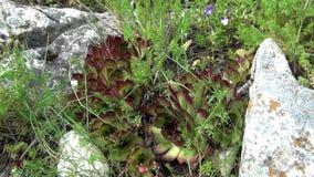Fleur de Sempervivum Tectorum en montagne clips vidéos