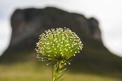 fleur de Sempre-vivats - fleur Jamais-vivante (PS de Paepalanthus ) - € «Brésil de Chapada Diamantina - du Bahia Photos libres de droits