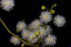 Fleur de sepiaria de mimosa Photo libre de droits