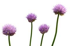 Fleur de sept ans d'oignon Photo stock