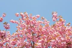 Fleur de serrulata de Prunus avec le ciel bleu photos libres de droits