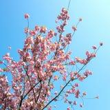 Fleur de serrulata de Prunus avec le ciel bleu images libres de droits