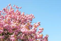 Fleur de serrulata de Prunus avec le ciel bleu photos stock