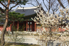 Fleur de serrulatain de Sakura Prunus Photographie stock libre de droits
