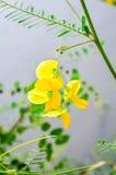 Fleur de Sesbania Photo stock