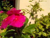 Fleur de Sincana Images libres de droits