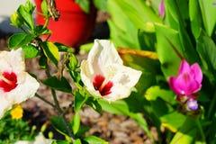 Fleur de sinensis de rosa de ketmie de la Floride Photographie stock libre de droits