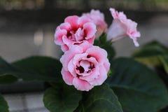 Fleur de Sinningia dans le jardin Images stock