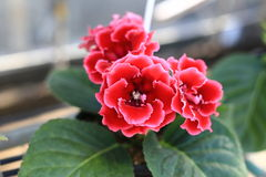 Fleur de Sinningia dans le jardin Photographie stock