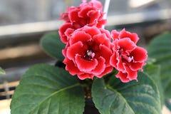 Fleur de Sinningia dans le jardin Photographie stock libre de droits