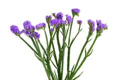 Fleur de sinuatum de Limonium Photos stock