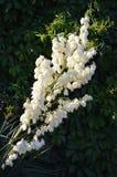 Fleur de sisal Images stock