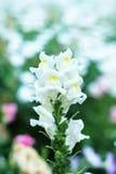 Fleur de Snapdragon Images libres de droits