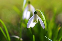 Fleur de Snowdrop Image libre de droits