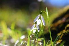 Fleur de Snowdrop Photos libres de droits