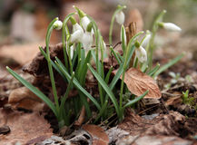 Fleur de Snowdrop Images libres de droits