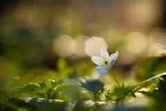 Fleur de soleil Image libre de droits