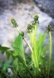 Fleur de Sonchus Image libre de droits