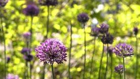 Fleur de sorbifolium de Xanthoceras de Denver Botanic Gardens banque de vidéos