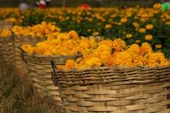 Fleur de souci Image libre de droits