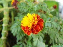 Fleur de souci africain Image stock