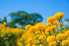 Fleur de souci africain dans la ferme Image stock