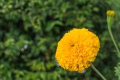 Fleur de souci avec la feuille Image stock