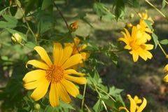 Fleur de souci d'arbre dans le jardin photographie stock libre de droits