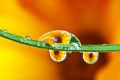 Fleur de souci de bac reflétant des baisses de rosée intérieures images libres de droits