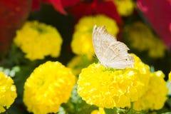 Fleur de souci et insecte, mouche à beurre dans le jardin photographie stock libre de droits