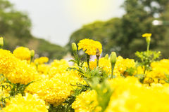 Fleur de souci, fleur de souci Images libres de droits