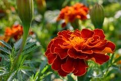 Fleur de soucis Photos libres de droits