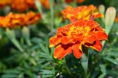 Fleur de soucis Photo stock