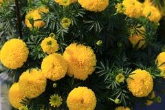 Fleur de soucis français dans le jardin Photographie stock