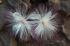 Fleur de souffle d'ARBRE de PLUIE Images stock
