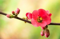 Fleur de source Brin avec les fleurs roses Le début de la source Images stock