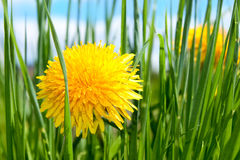 Fleur de source dans l'herbe Photographie stock libre de droits