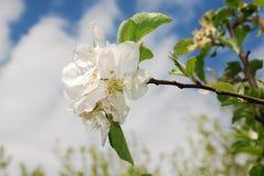 Fleur de source sur le pommier Photo libre de droits