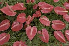 Fleur de Spadix Photographie stock libre de droits