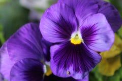 Fleur de Spangy photo libre de droits