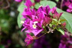 Fleur de spectabilis de bouganvill?e photos stock