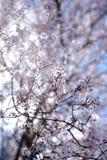 Fleur de Sping Photo libre de droits