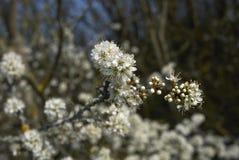 Fleur de spinosa de Prunus photographie stock