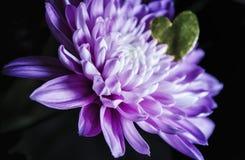 Fleur de Spraymum avec le coeur d'amour Photographie stock libre de droits