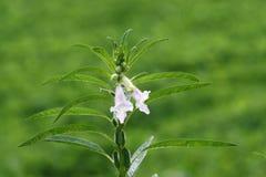 Fleur de sésame Image libre de droits