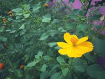 Fleur de Starburst Photo libre de droits