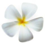 Fleur de station thermale de plumeria de Frangipani d'isolement sur le blanc Image libre de droits
