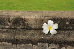 Fleur de station thermale sur le vieux mur Photos libres de droits