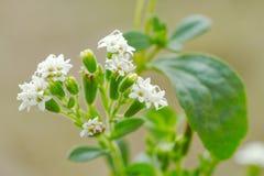 Fleur de Stevia Image stock