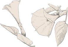 Fleur de stramonium de datura photos stock